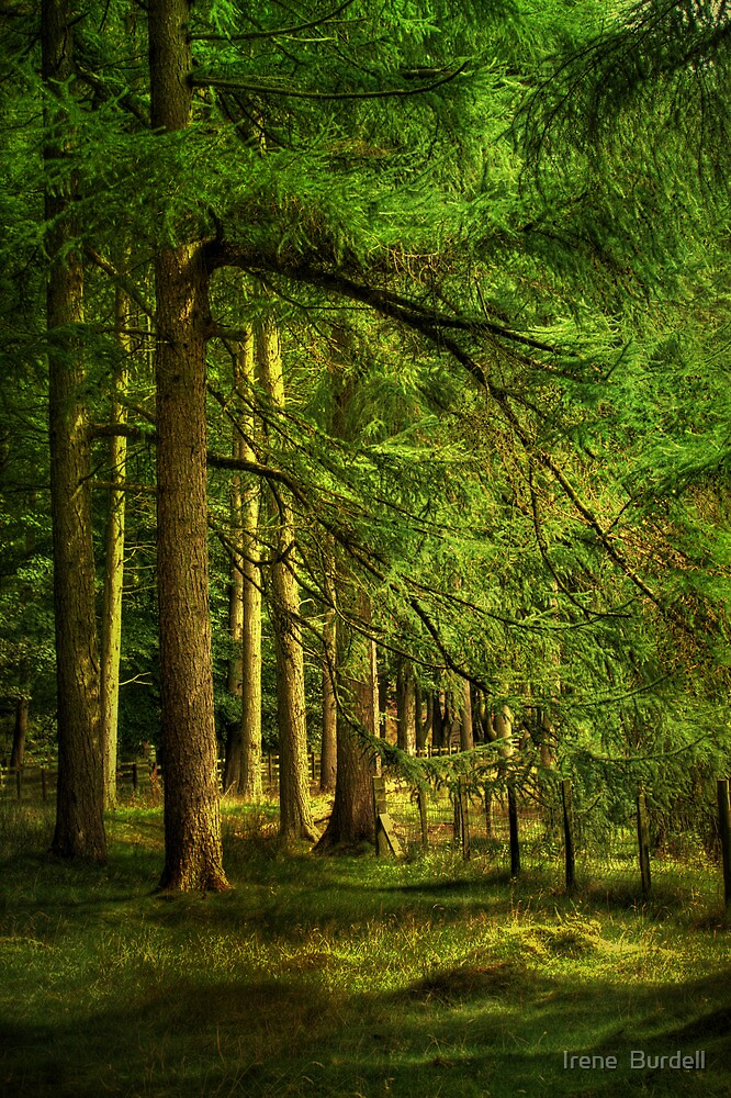 Forest in Bowland  by Irene  Burdell