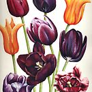 Colourful Tulip flowers by Helen Lush
