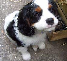 Cottage Garden Cavalier Puppy by Donniwoo