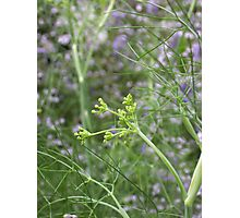 Cottage Garden Fennel Photographic Print