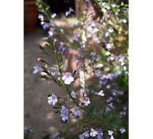 Cottage Garden Fennel & Catmint Photographic Print