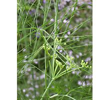 Cottage Garden Fennel2 Photographic Print
