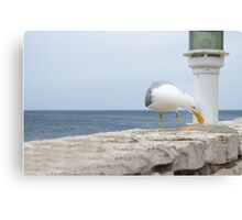 Seagull Eating Food Residues Canvas Print