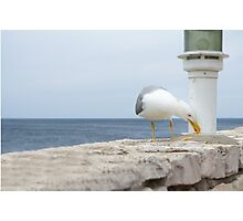 Seagull Eating Food Residues Photographic Print