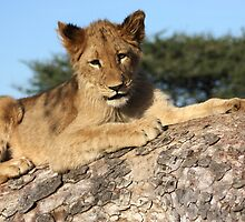 Lion Cub 11 by ccsoneill