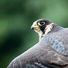 Falcon by VladimirFloyd