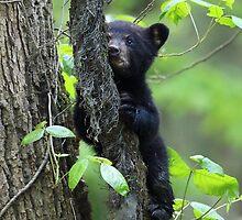 Black Bear Cub by William C. Gladish