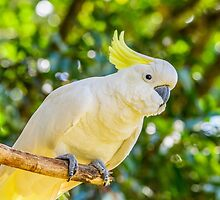 Sulphur Crested Cockatoo - Australia by Jensphotos