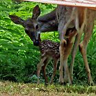 Nursing fawn by Maria Elena  Black