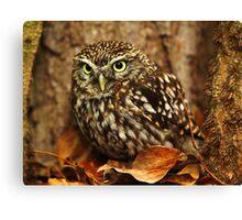 Little Owl (Athene noctua) Canvas Print