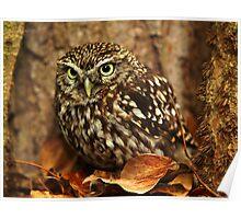 Little Owl (Athene noctua) Poster