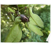 Forest Bug on a Sycamore  Poster