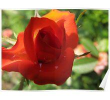 Roaring Red Rose Poster