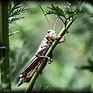 Grasshopper by Dennis Cheeseman