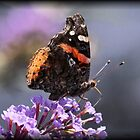 Red Admiral Butterfly by Dennis Cheeseman