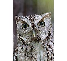 Grey Screech Owl Portrait Photographic Print