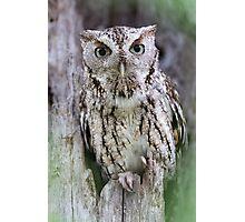 Grey Screech Owl Photographic Print