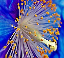 Blue Himalayan Poppy by Aj Finan