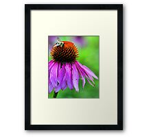 Red Coneflower - Bumble-Bee Framed Print