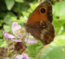 Gatekeeper Butterfly on a Bramble Sticker