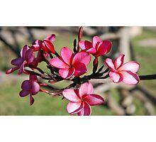 Plumeria Flower's Maui. Hawaii Photographic Print