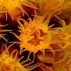 Orange Cup Coral by Todd Krebs