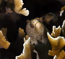 Golden Tail Eel in Fire Coral by Todd Krebs