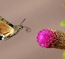 Hummingbird Hawk Moth by David Clark