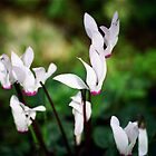 Cyclamen02 by MRMSTYLE