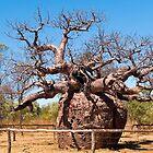Boabab Tree, Derby, Western Australia. by johnrf