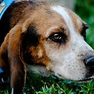 Beagle portrait by Erica Sprouse