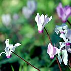 Cyclamen01 by MRMSTYLE