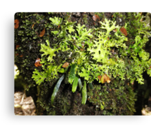 Ribbon Fern, Moss and Lichen, Cradle Mountain,Tasmania, Australia. Canvas Print