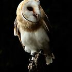 Barn Owl ( Tyto alba ) Portrait by Norfolkimages