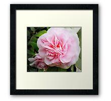 Pink Camelia - Garden Beauty Framed Print