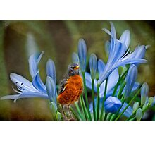 Robin in flowers Photographic Print