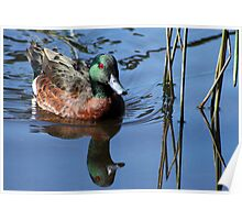 Male Chestnut Teal  Poster