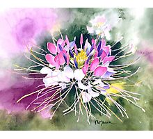 Cleome Blossom Watercolor Photographic Print