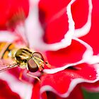 Hover fly on carnation by Thomas Tolkien