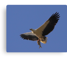 White-bellied Sea Eagle - Catch of the Day Canvas Print