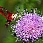 Clearwing Hummingbird Moth by David Clark