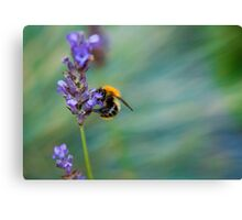 Bumble Bee on Lavender  Canvas Print