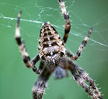 Spider in the Garden by mikrin