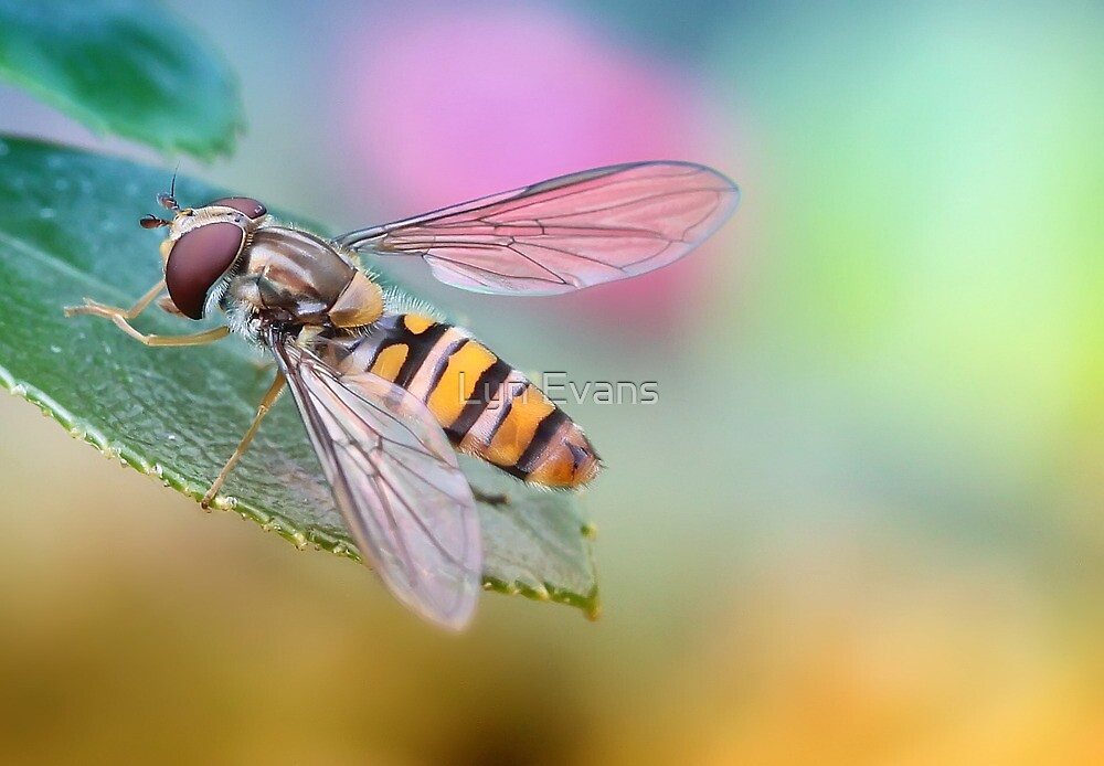 Hoverfly by Lyn Evans