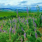 Lupine Valley by AdventureGuy