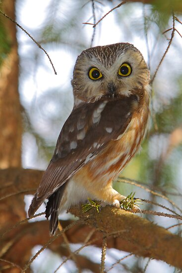 Saw-whet Owl by naturalnomad