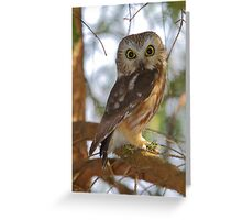 Saw-whet Owl Greeting Card
