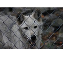 Wolf sanctuary Photographic Print