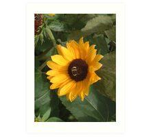 Bumble bee on sunflower Art Print