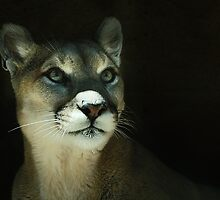 Mountain Lion by KatsEyePhoto